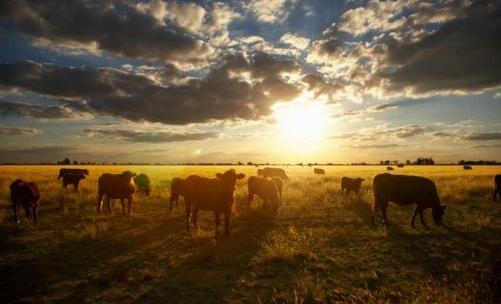 argentina-cattle